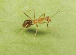 Yellow Crazy Ant (Photo courtesy of Paul Zborowski)